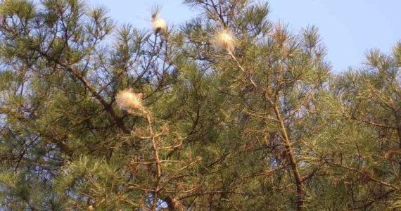 Albero di pino infestato